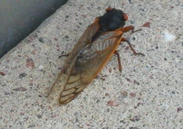 how to get a flying cicada