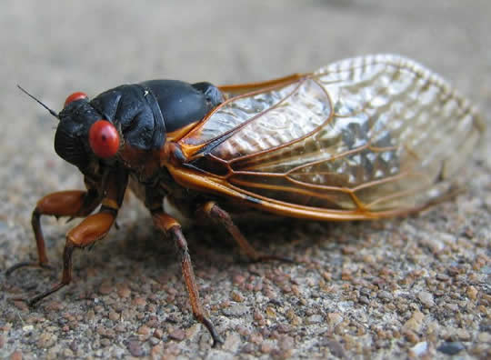 Image result for cicada