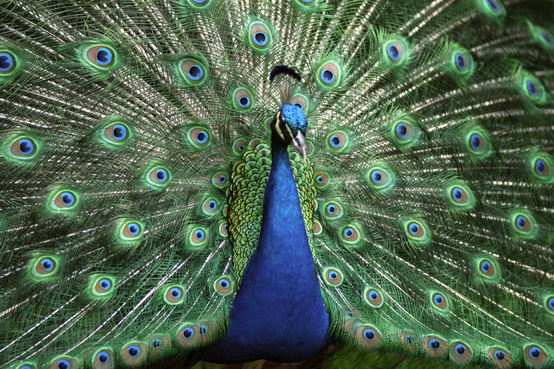 ... peacock pictures pics beautiful peacock tails the beautiful peacock is