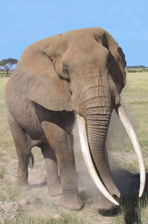 "Amboseli National Park's ""Tolstoy"""