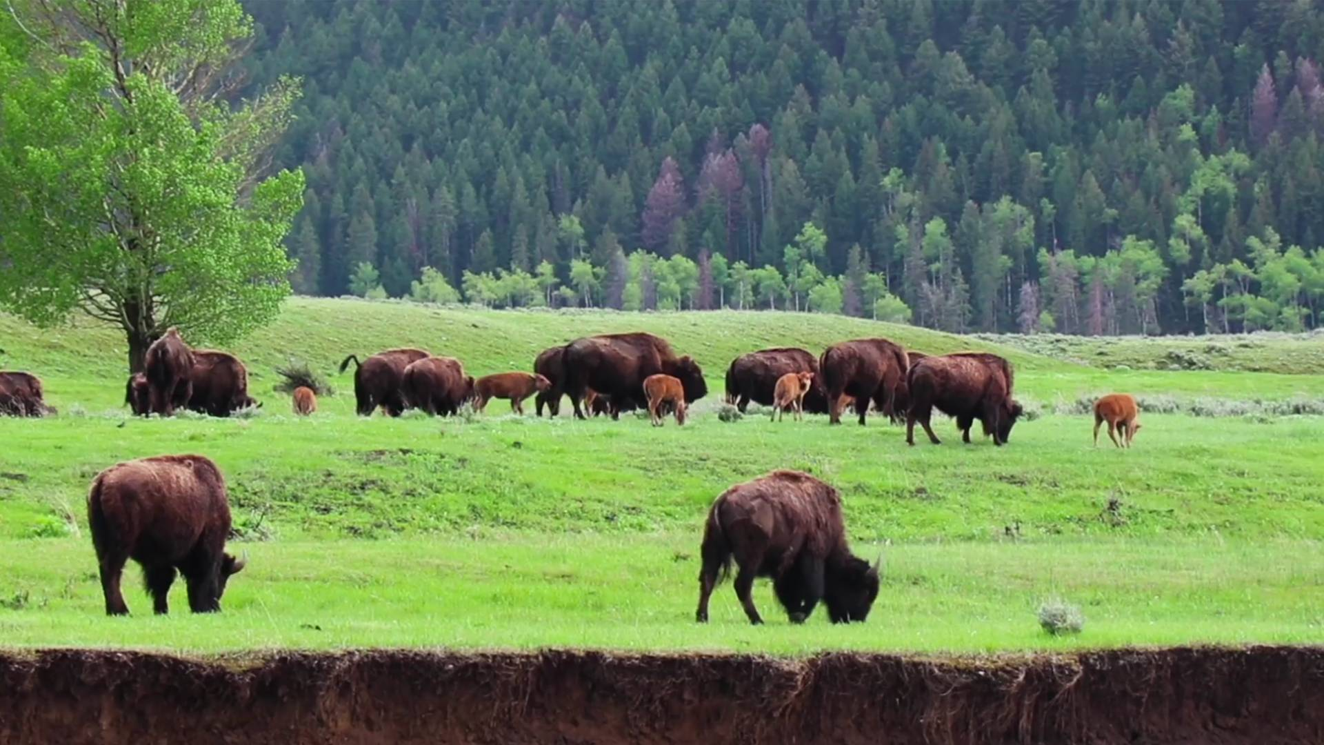 Bison grazing on plains