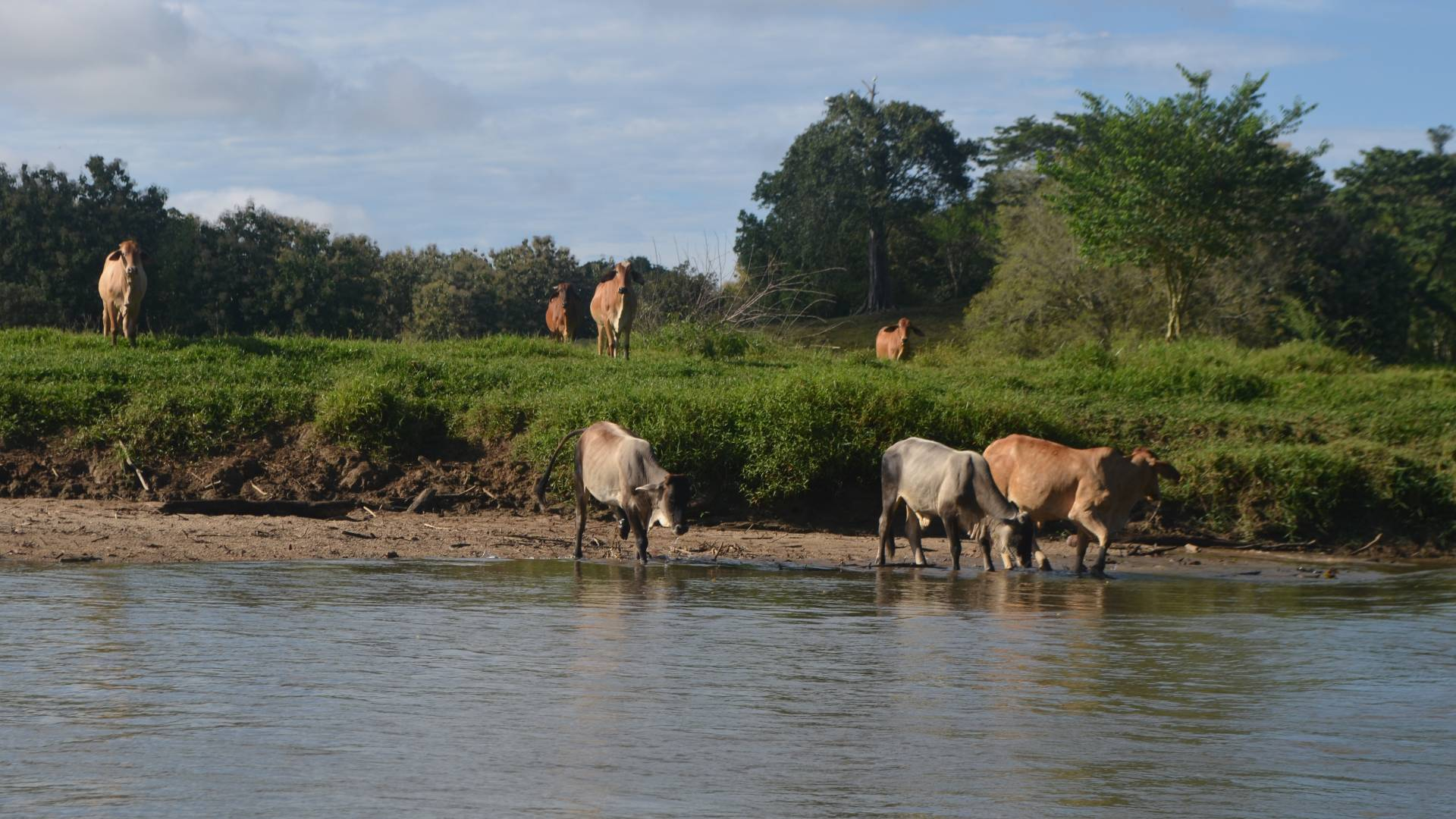 Cows standing along shoreline and in river drinking
