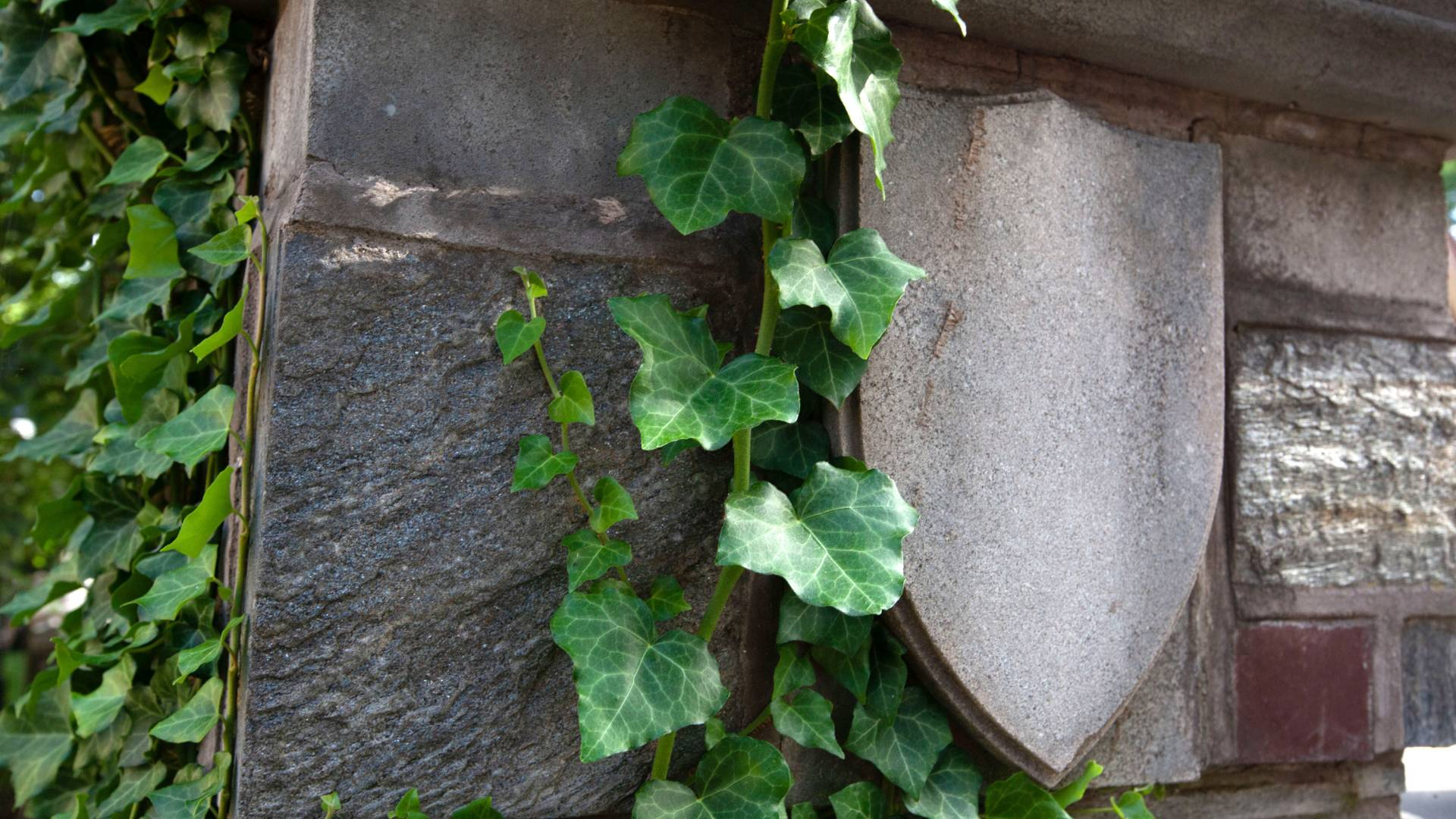 Ivy grows around a shield detail in a stone wall