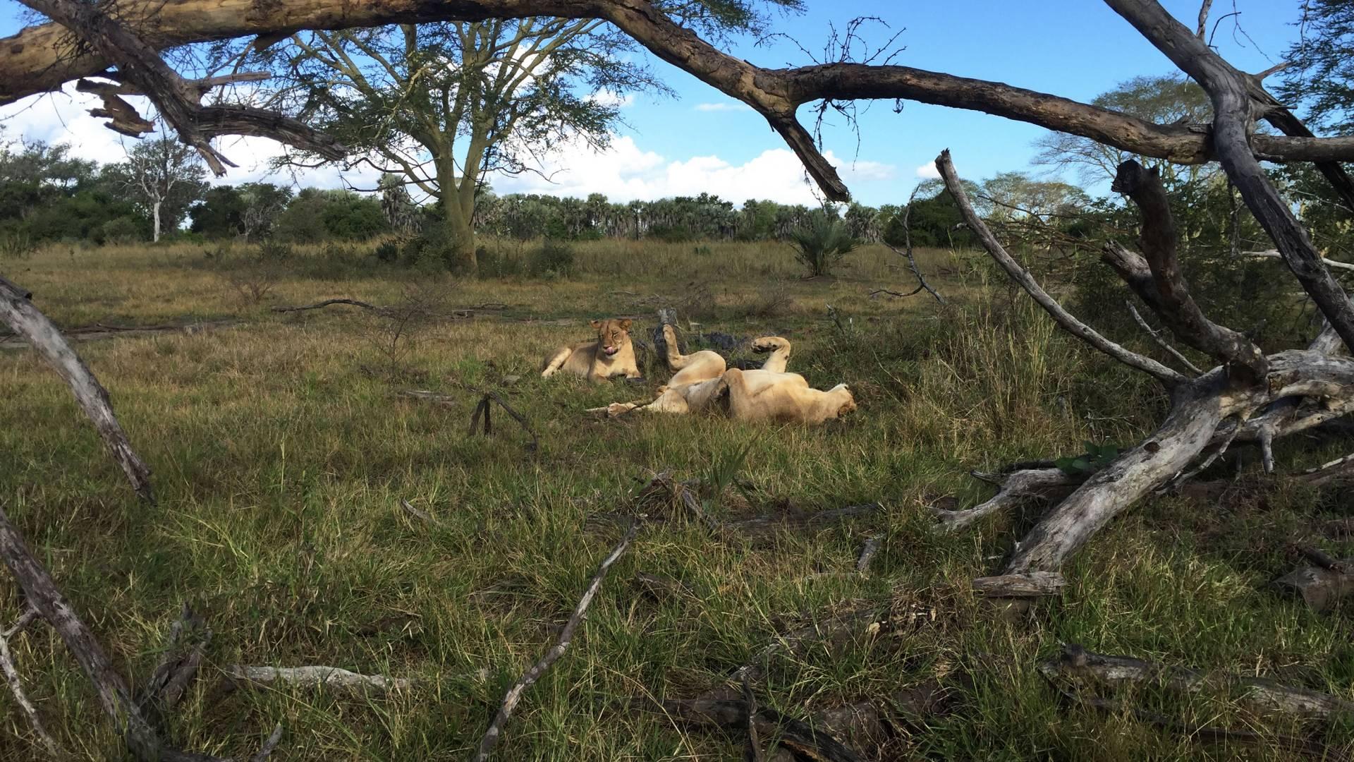 2 lions sprawl in te grass