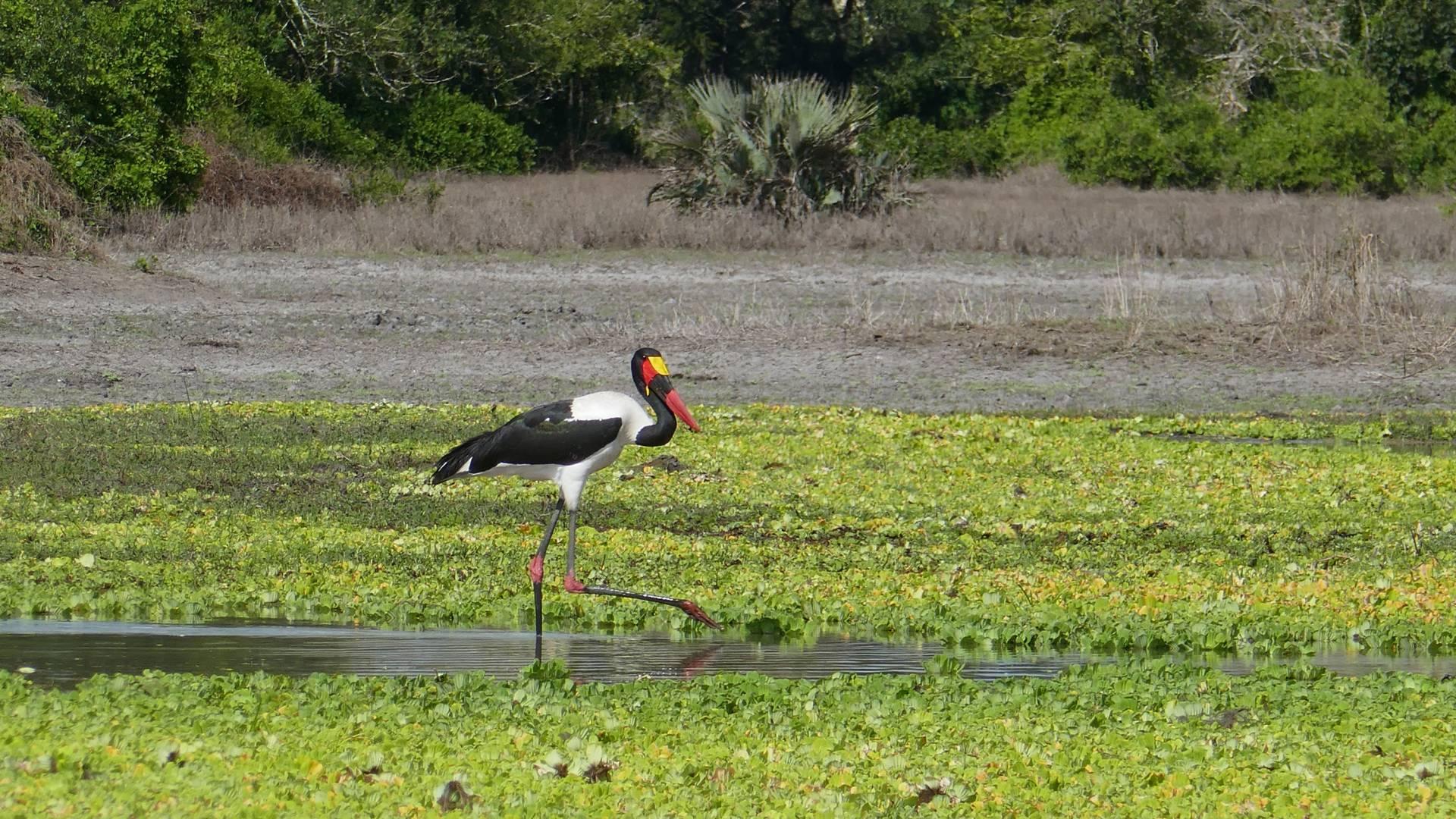 A saddle-billed stork stands in a pond