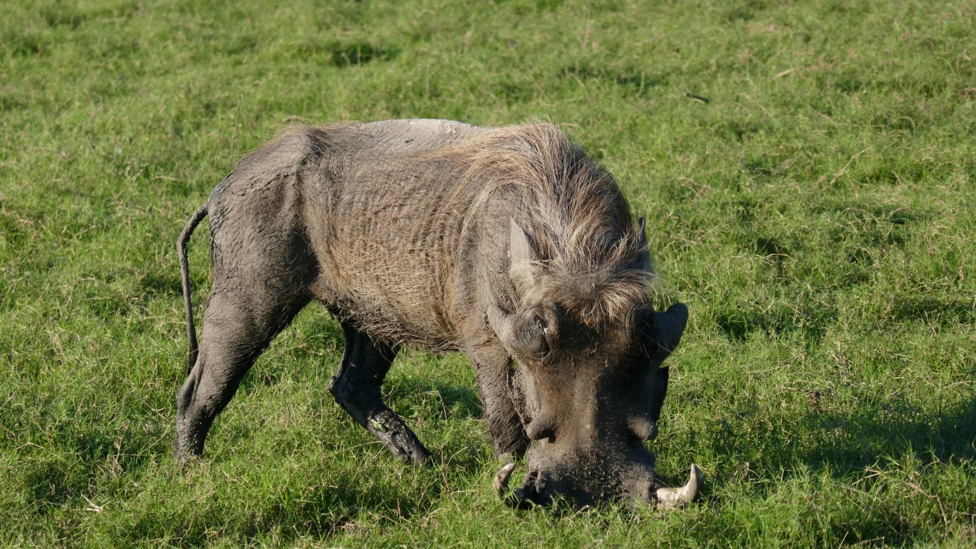 Geriatric warthog