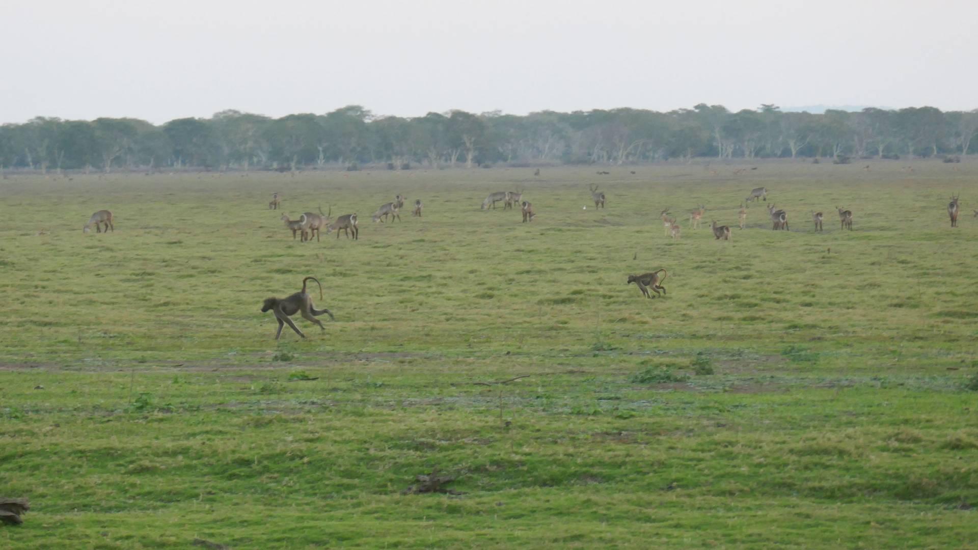 Baboons rub across a field