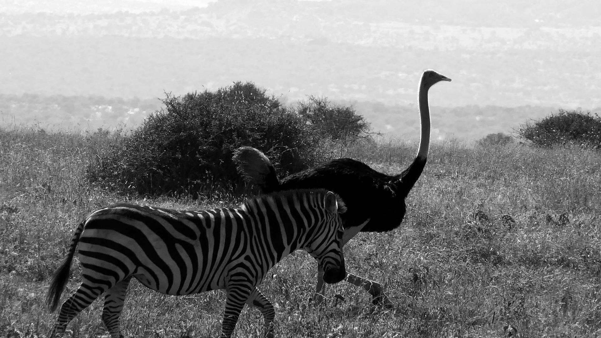 plains zebra and ostritch