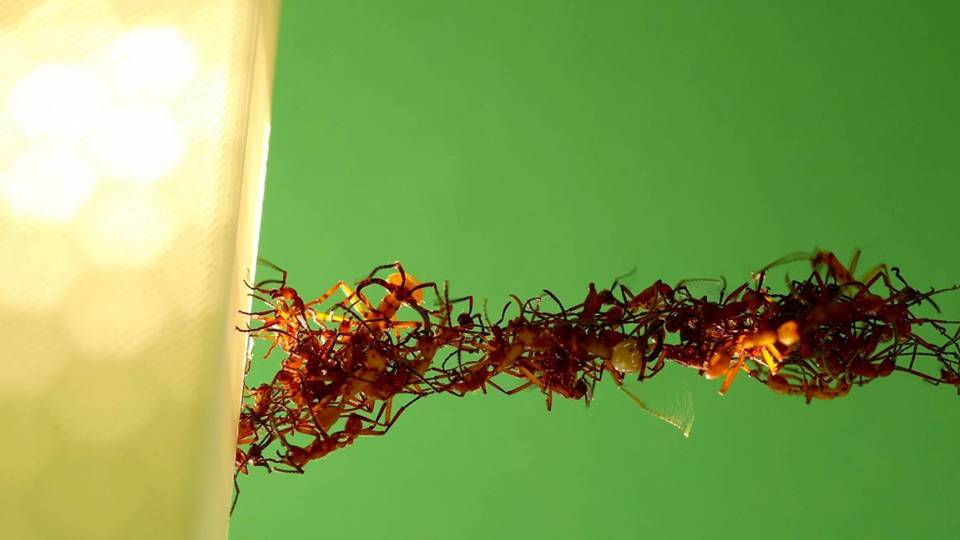 A close-up photo of ants building a bridge with their bodies.