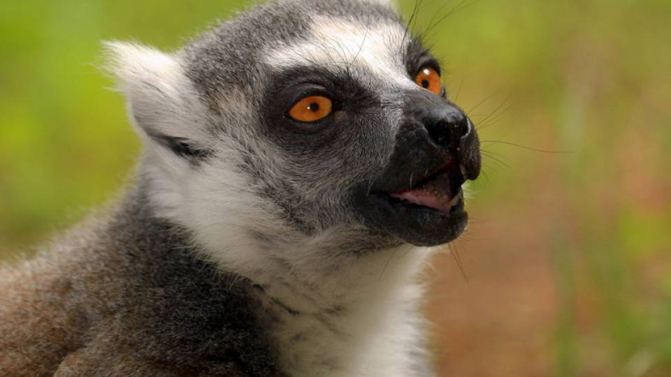 Photo of a ring tailed lemur with orange eyes.