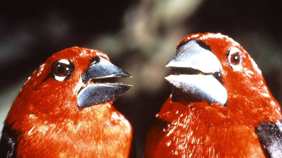 Closeup of two black-bellied seedcracker finches
