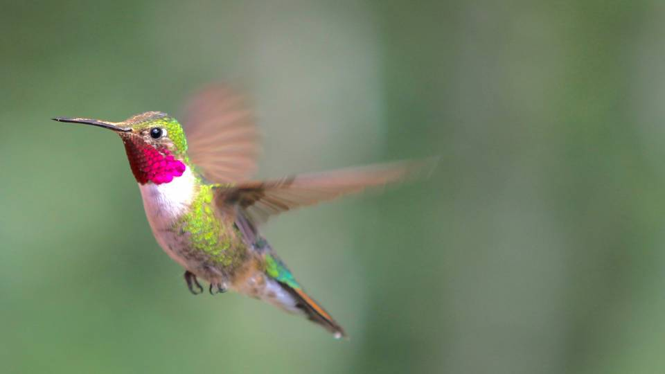 A male broad-tailed hummingbird in flight
