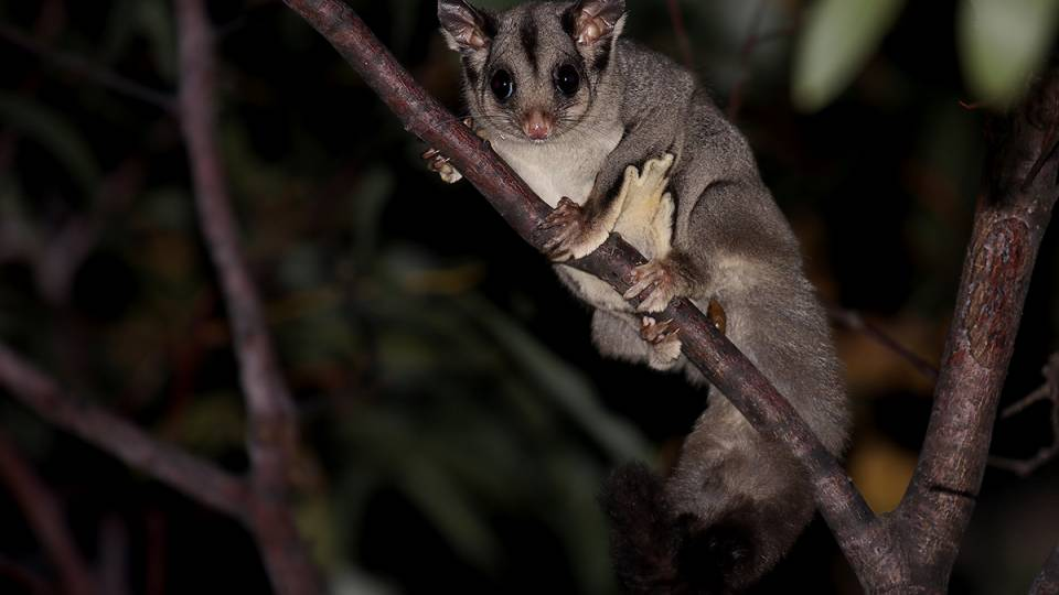 A sugar glider in a tree
