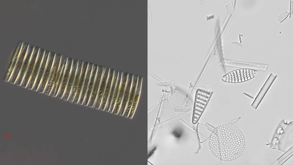 live cylindrical diatom and shapes of fossilized diatoms