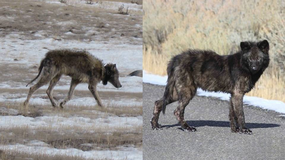 two mangy wolves in Yellowstone National Park