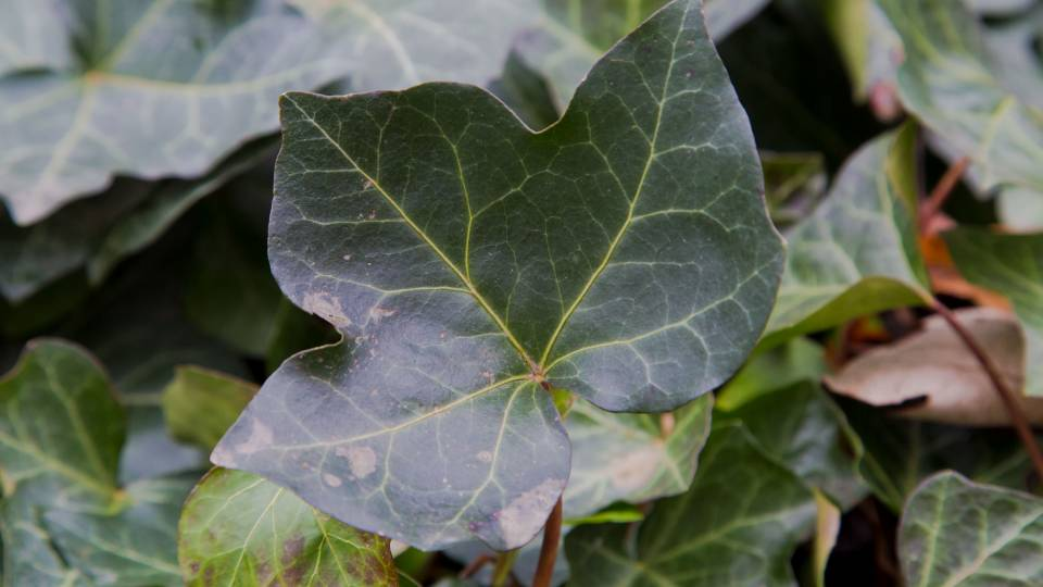 close up of ivy