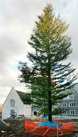 Cedar of Lebanon