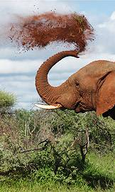 Elephant tossing dust