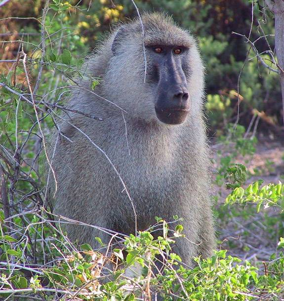 Baboons watch