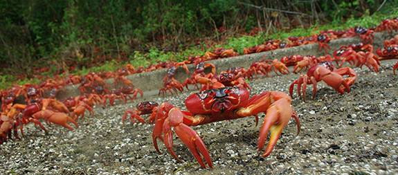 Red Crabs crowd