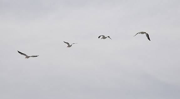 Graduate Students Spiral Jetty American White birds
