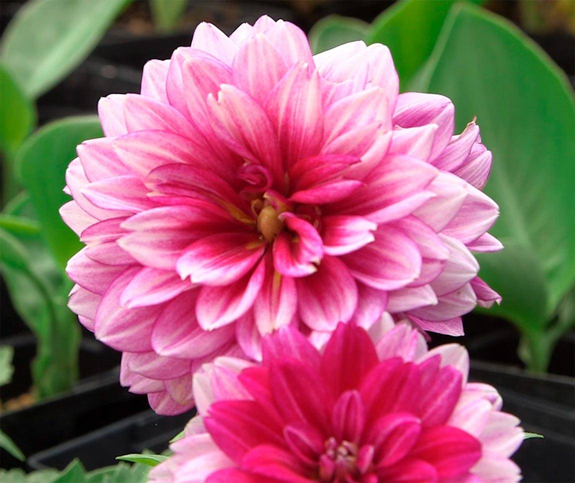 Greenhouse pink dahlias