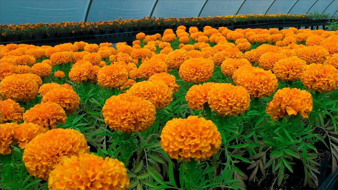 Greenhouse marigolds