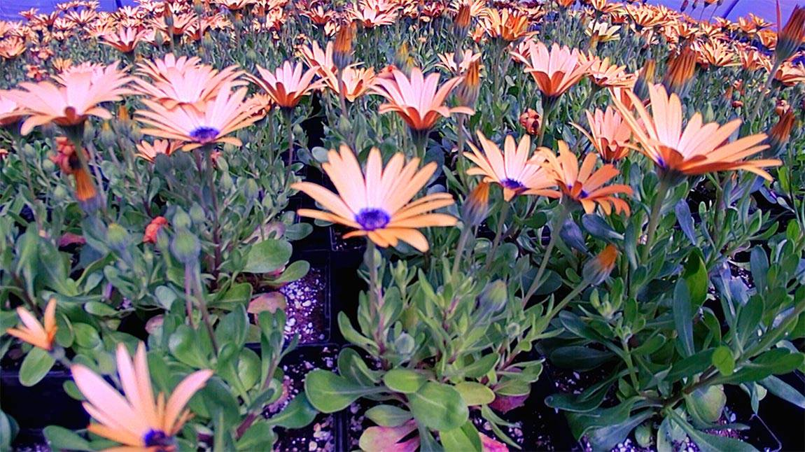 Greenhouse African daisies