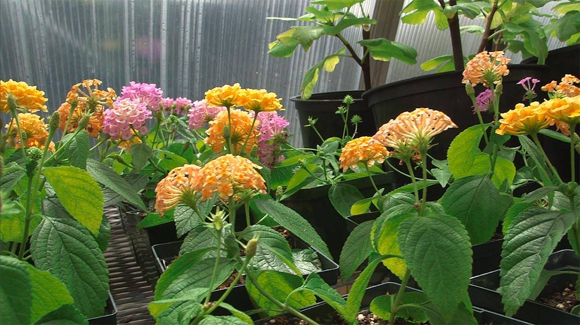 Greenhouse lantanas