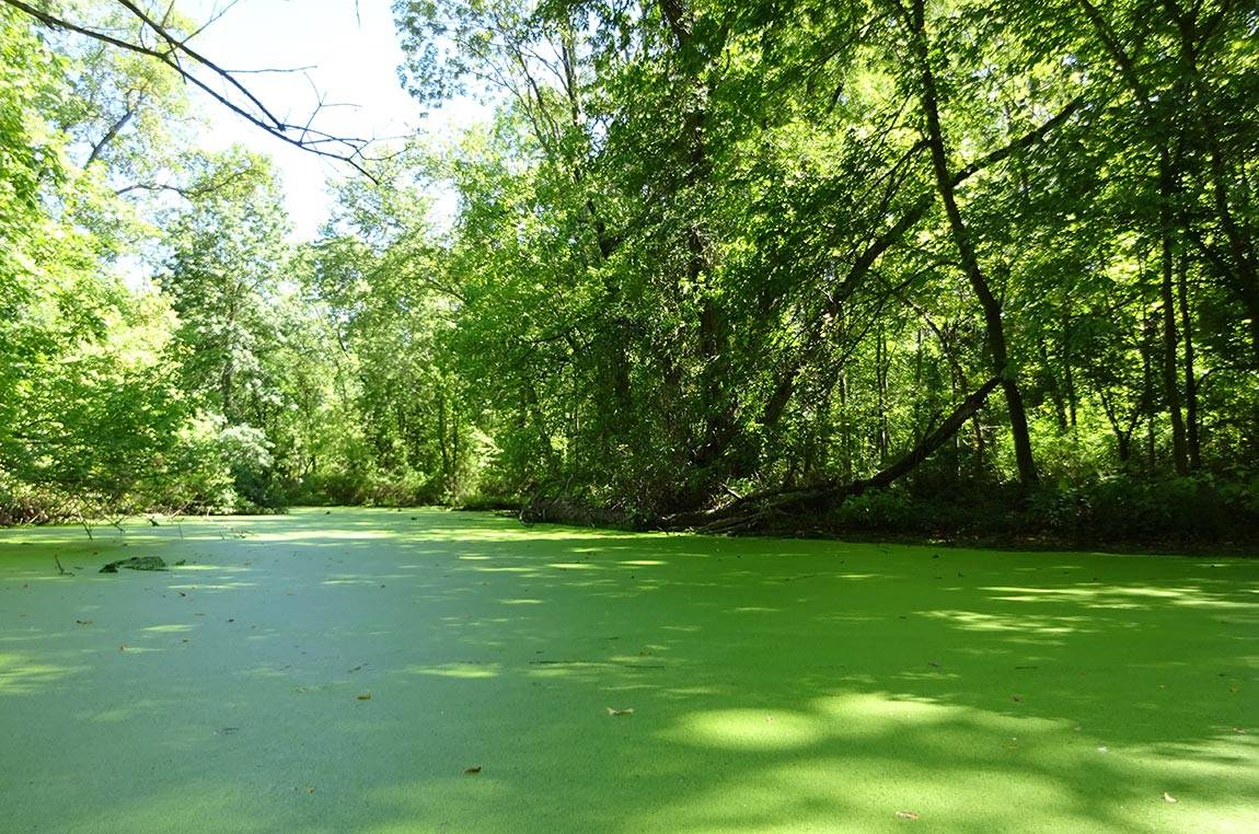 Lake Carnegie duckweed channel