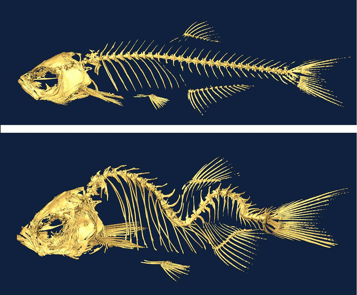 Images of fish skeletons used i genetic studies of scoliosis