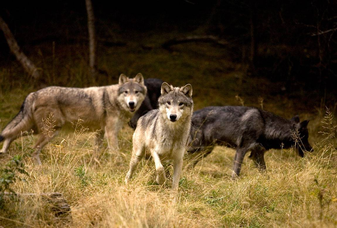 Image of gray wolf pack