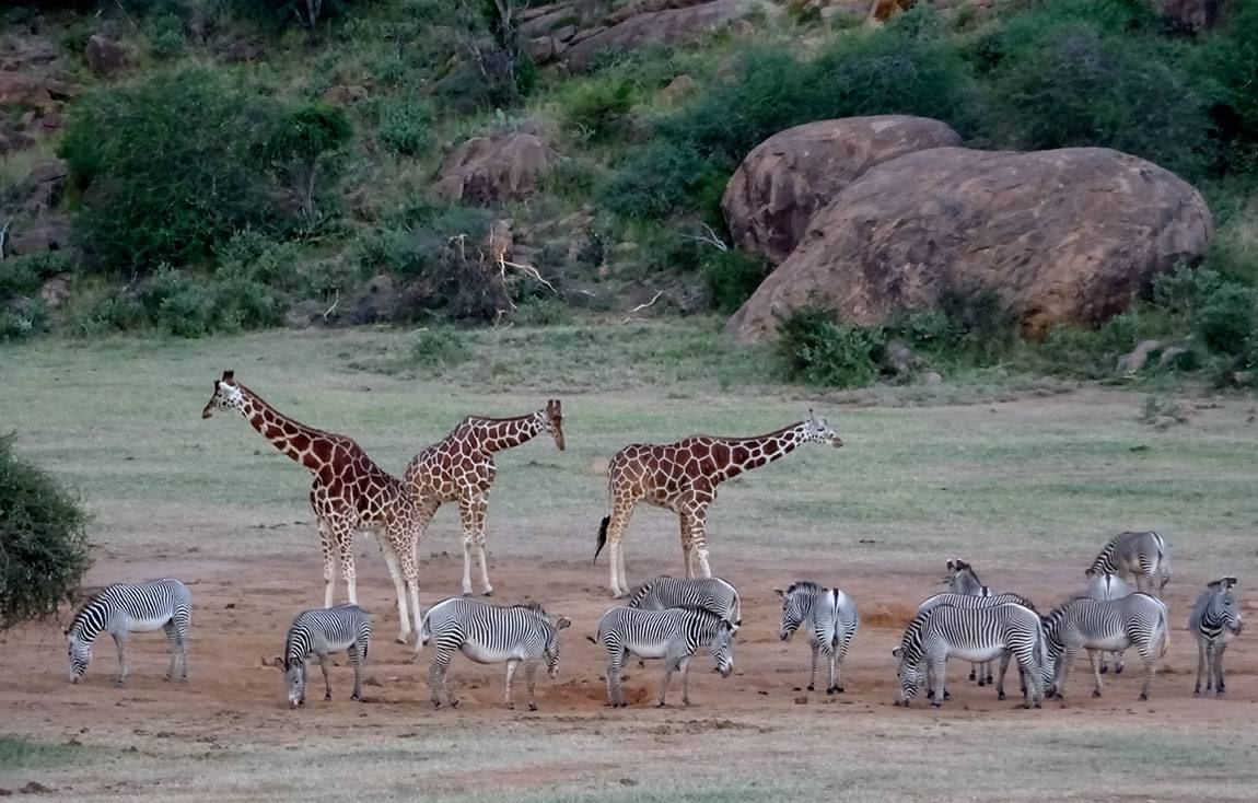 Mpala Grevy zebras and giraffes