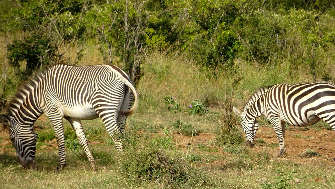 Mpala Grevy zebra and Plains zebra