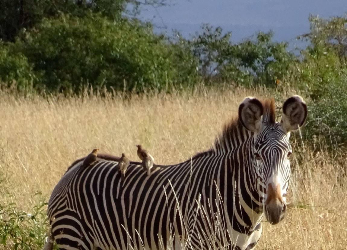 Mpala Grevy zebra with birds sitting on back