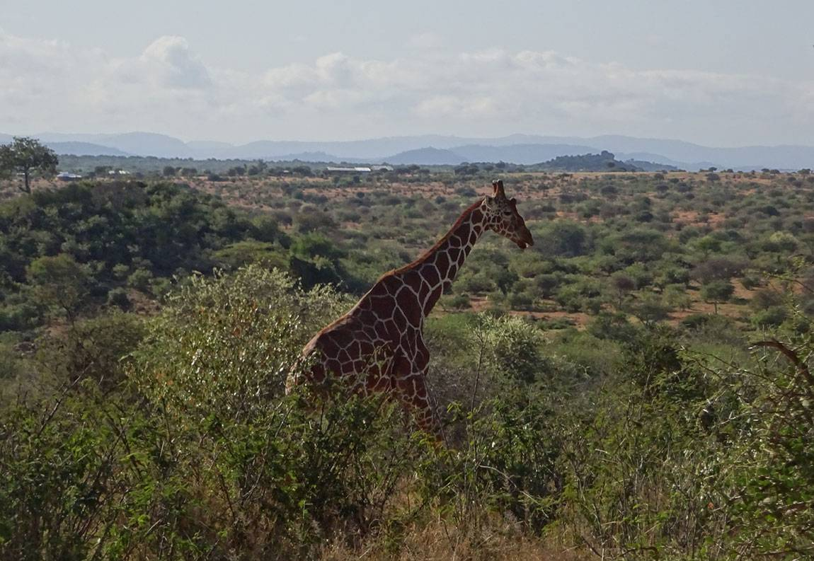 Photos from the Mpala Research Centre giraffe