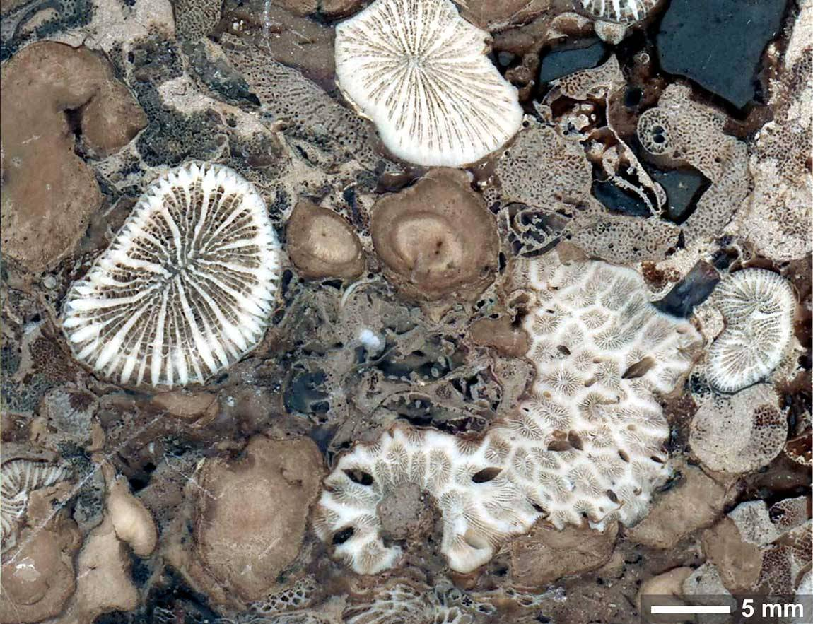 Fossilized coral