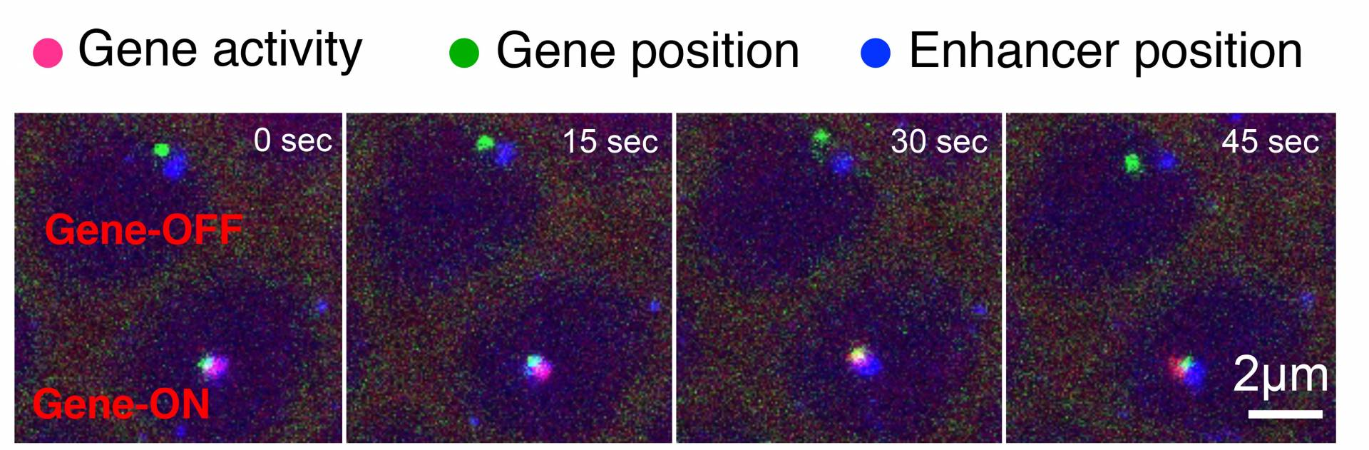 A time series of images reveals how a DNA segment known as an enhancer can turn on, or activate, its target gene