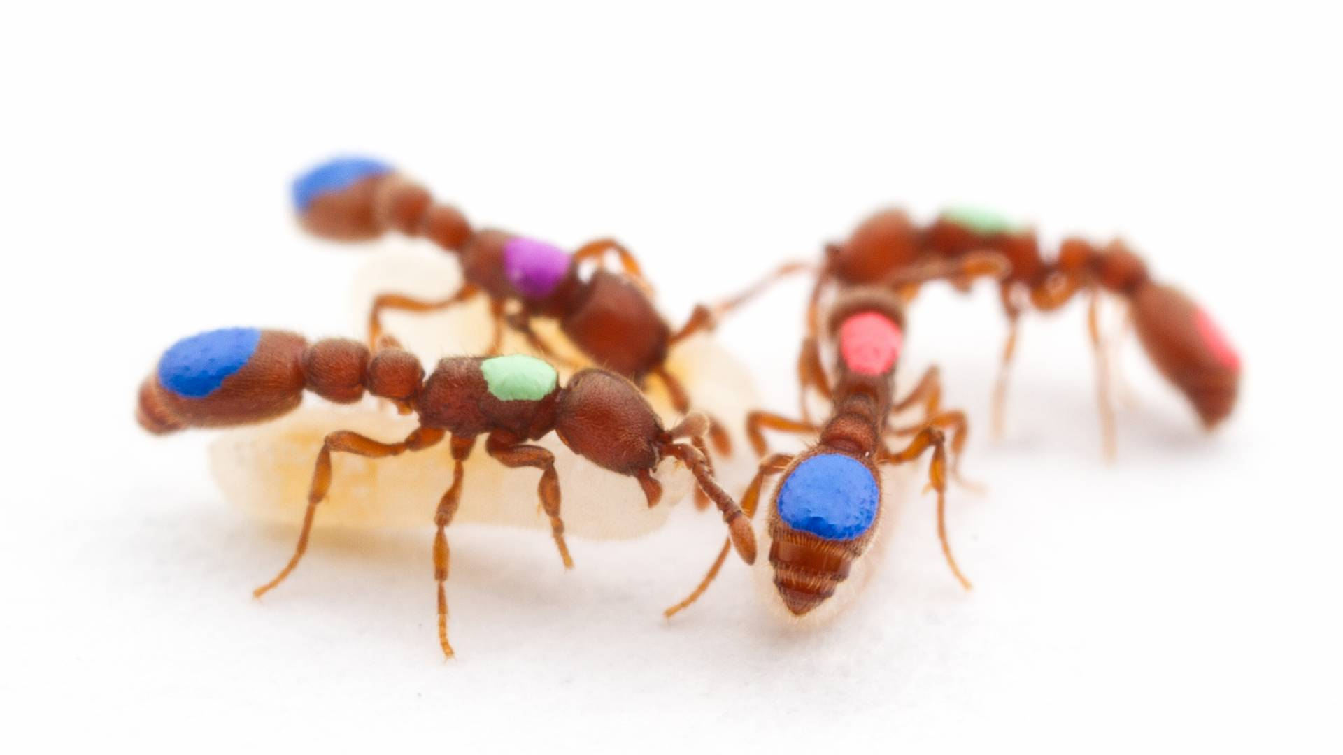 Four ants with colored circles on them gather together