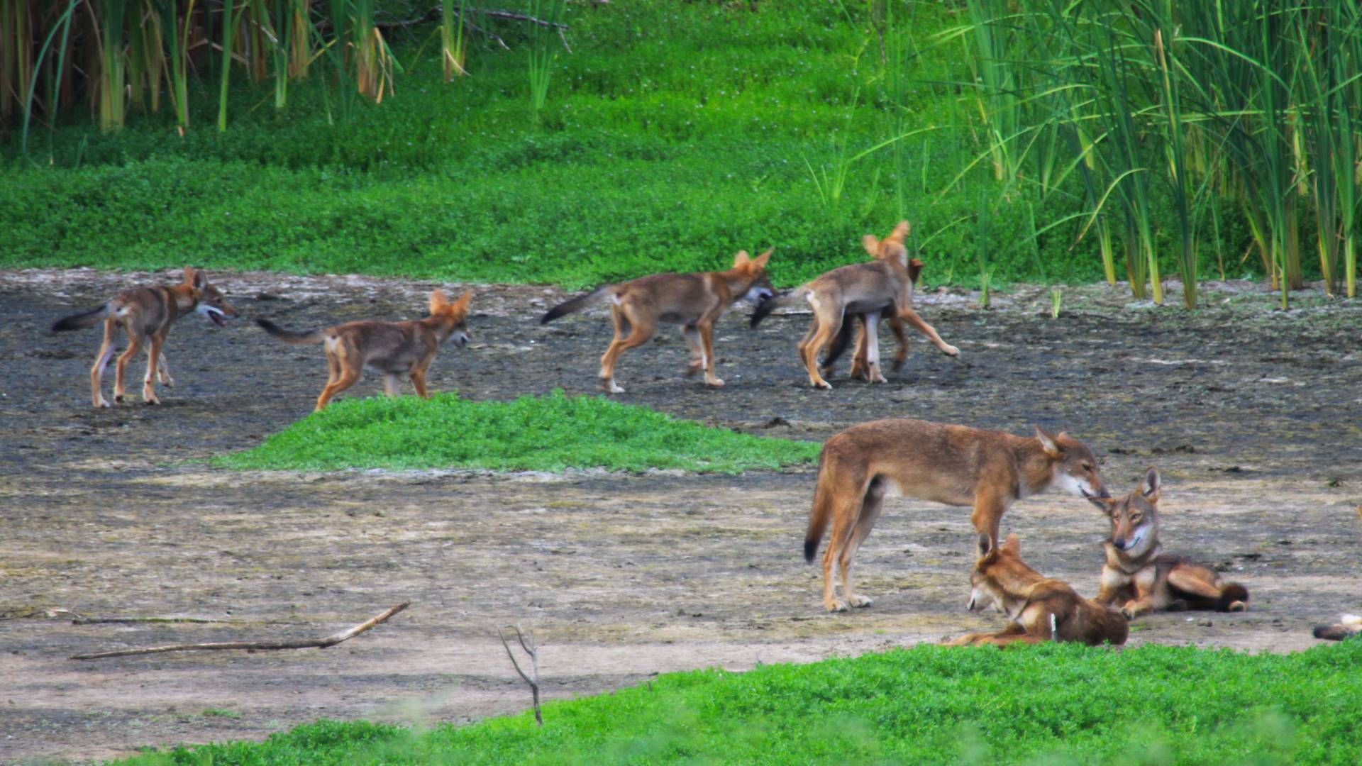 8 red wolves standing and sitting in a patch of dirt and grass