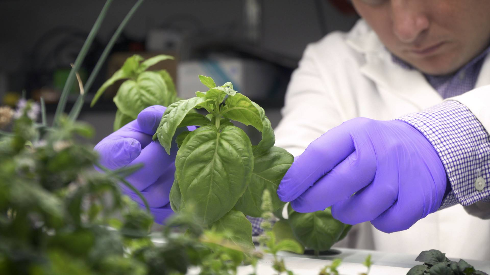 A researcher inspecting a plant