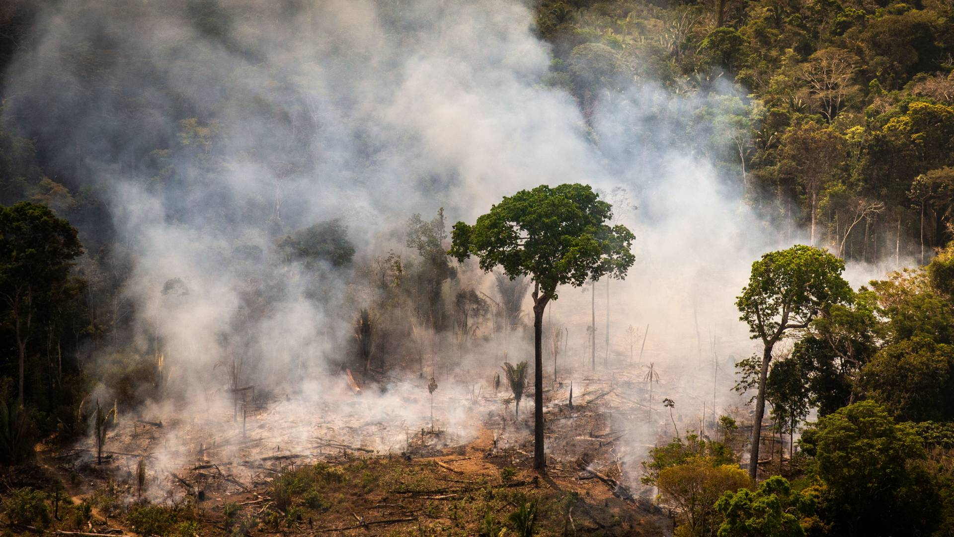 A tree in the amazon forest in front of fire and smoke