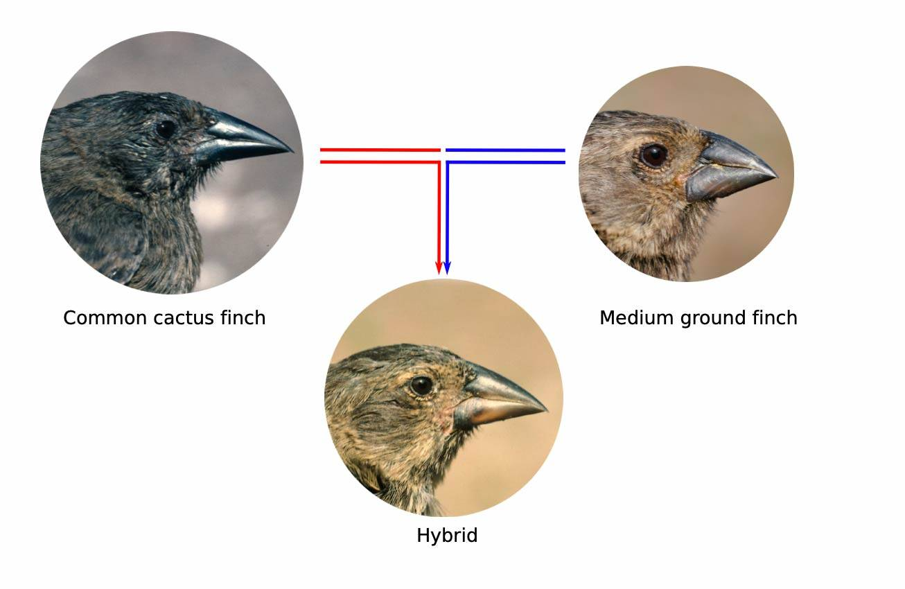 A schematic showing the combination of a Common Cactus Finch with a Medium Ground Finch make a hybbrid finch
