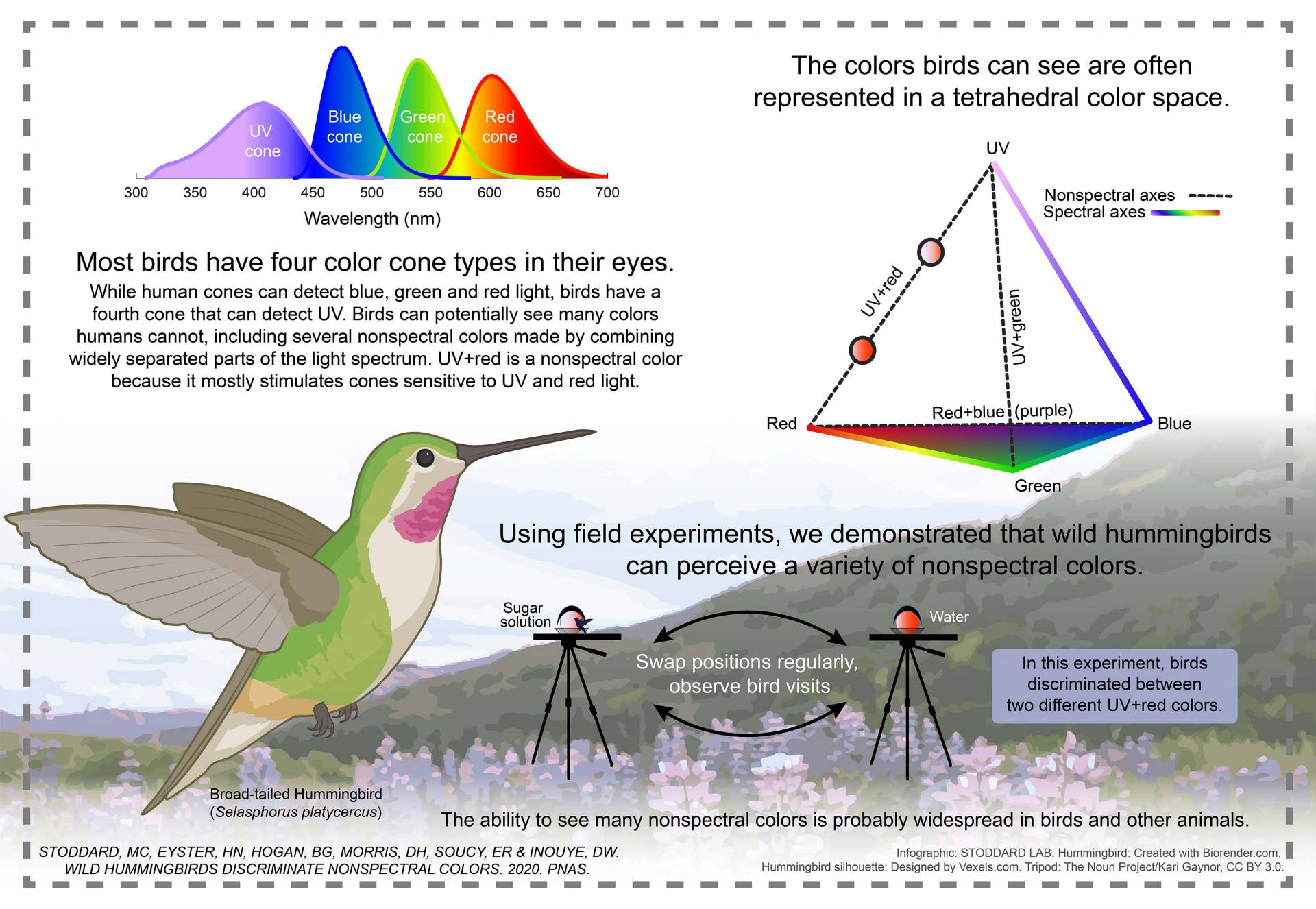 Most birds have 4 color cone types in their eyes. While human cones can detect blue, green, and red light, birds have a fourth cone that can detect UV. Birds can potentially see many colors humans cannot, including several nonspectral colors made by combining widely separated parts of the light spectrum. UV+red is a nonspectral color because it mostly stimulates cones sensitive to UV and red light. Using field experiments, we demonstrated that wild hummingbirds can perceive a variety of nonspectral colors.