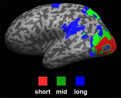 Hasson brain
