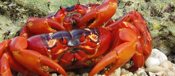 Christmas Island Red Crab.How Red Crabs On Christmas Island Speak For The Tropics
