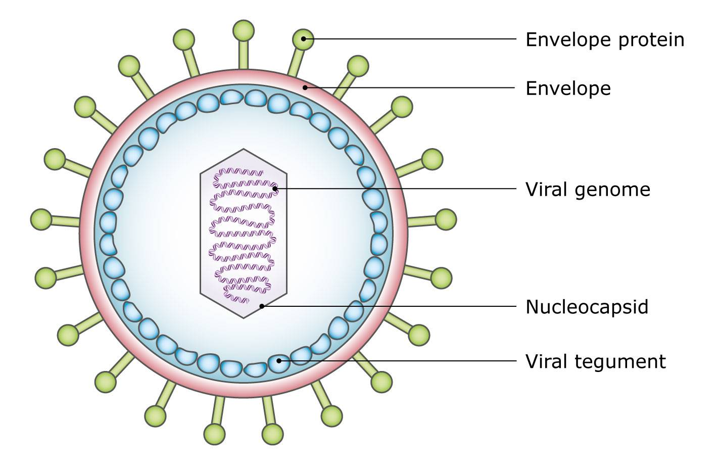 Diagram of a virus particle