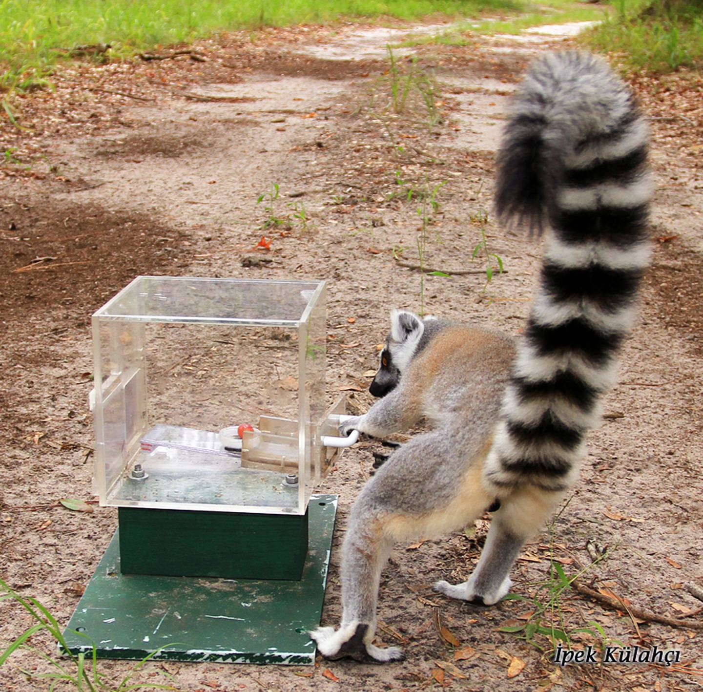 Lemur taking a grape from a box