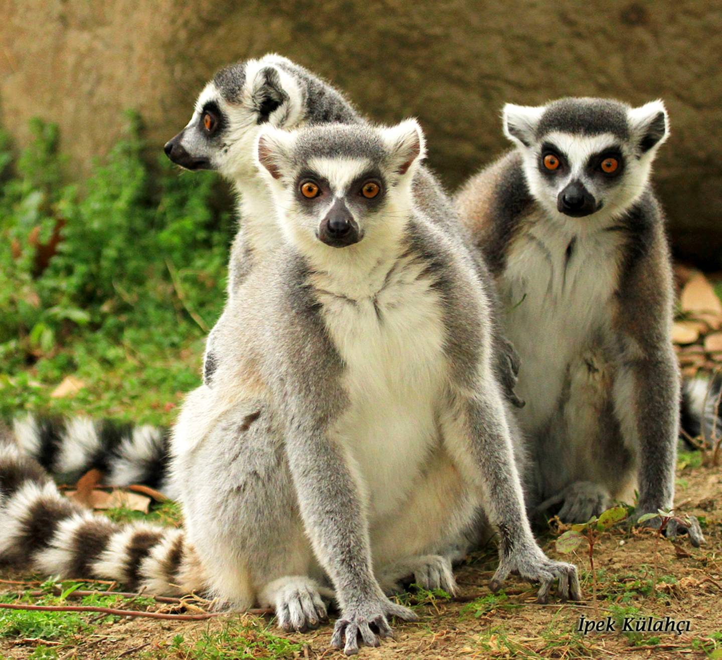 Three lemurs sitting together