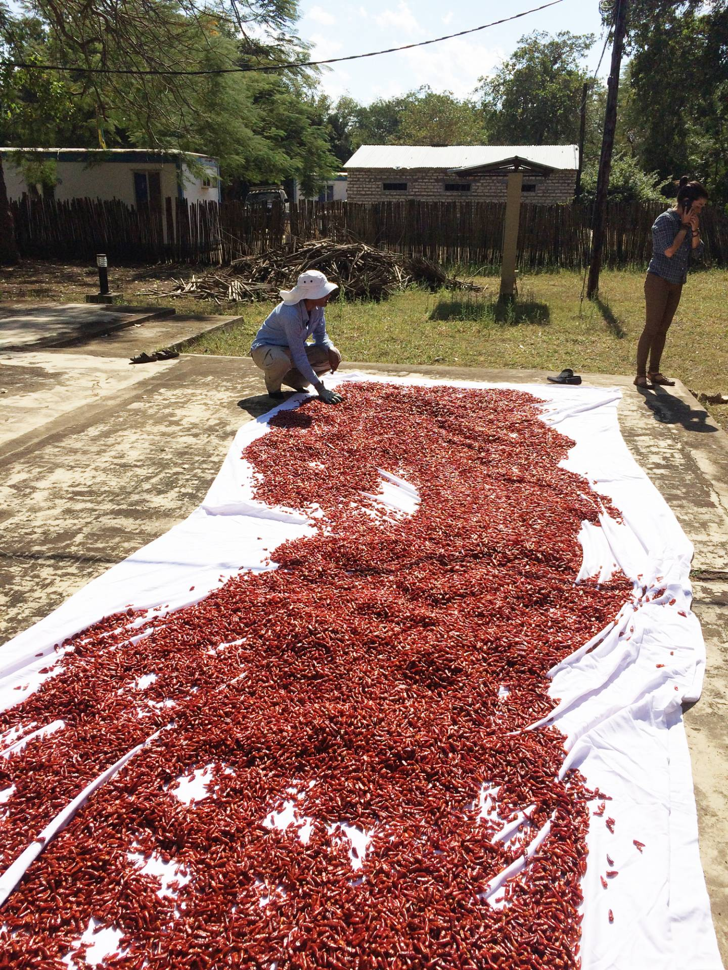 A tarp covered in chili papers is laid out